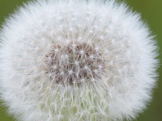 dandelion-116440_640